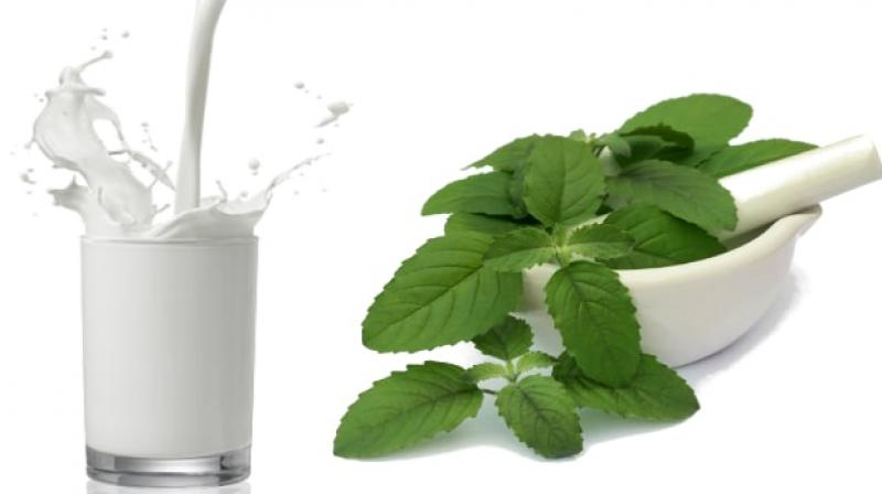 Drink tulsi in milk