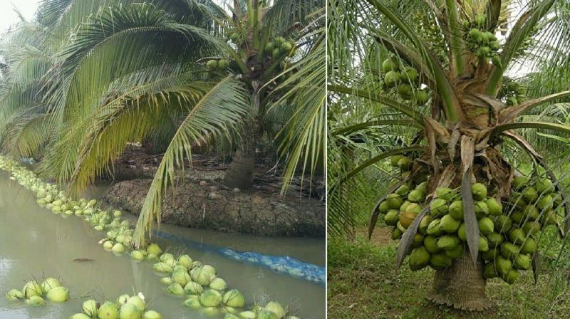 Coconut Agriculture