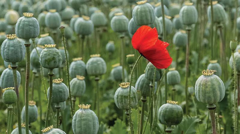 Poppy farming inaugurated in this village video viral