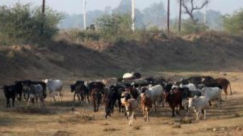 100 Cows Died in Uttar Pradesh