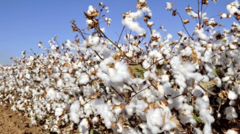 cotton price reduced