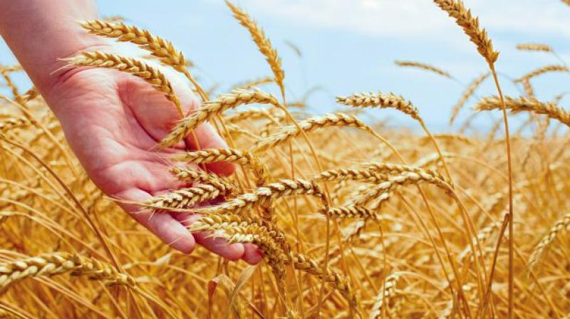 Wheat harvesting delayed due to weather