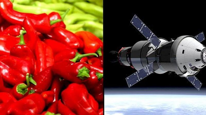 NASA PLANNING TO GROW CHILI PEPPERS ON SPACE