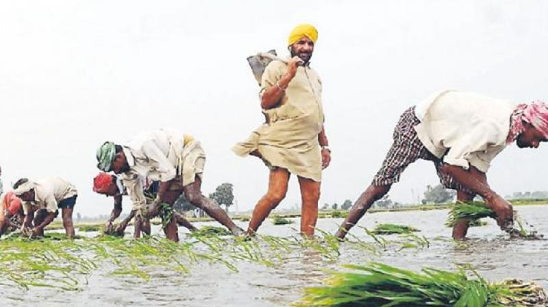 Paddy season starts in Punjab but labor disappears