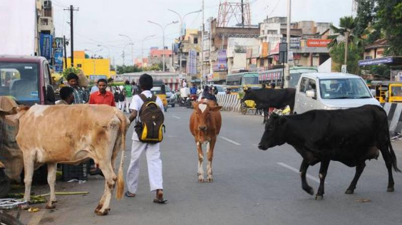 Cattle In City