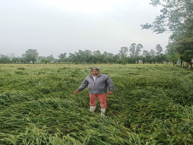 Wheat crop damaged by strong winds and rains