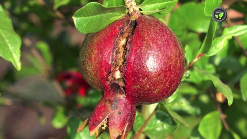 Pesticide infested on pomegranate